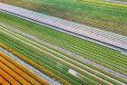 Field of unopened tulips