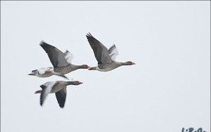Loud geese
