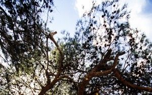 Old tree at cemetery of Gesher Haziw