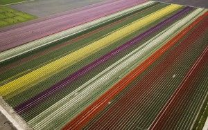 Tulip fields by drone near Almere