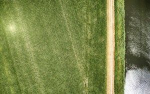 Rows of corn from my drone