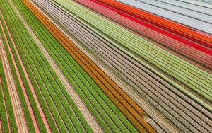 Tulip field near Almere-Haven