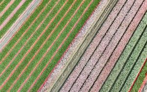 Tulip field patterns from above