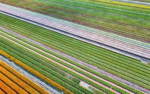 Field of unopened tulips