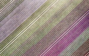 Top-down drone picture of a tulip field