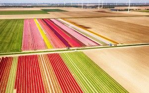 Two tulip fields from my drone