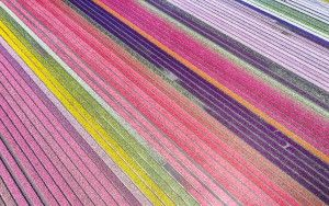 Drone picture of a tulip field near Almere