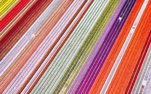 Top-down drone picture of a tulip field near Almere