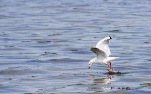 Seagull in Terschelling