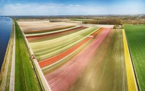 Drone panorama of a tulip field near Almere-Haven.jpg