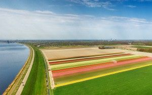 Drone panorama of a tulip field near Almere-Haven