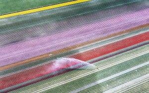 Drone picture of a tulip field near Almere-Haven