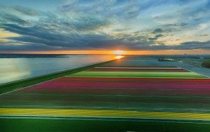 Drone tulips panorama during sunset