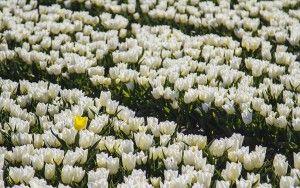 Tulip field in the Flevopolder