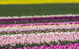 Tulip field in the Flevopolder