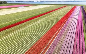 Tulip field from my drone near Almere-Haven