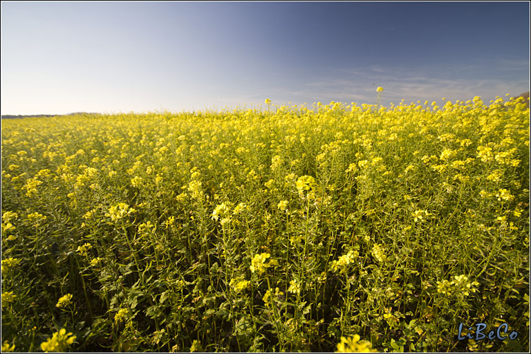 A field of colza