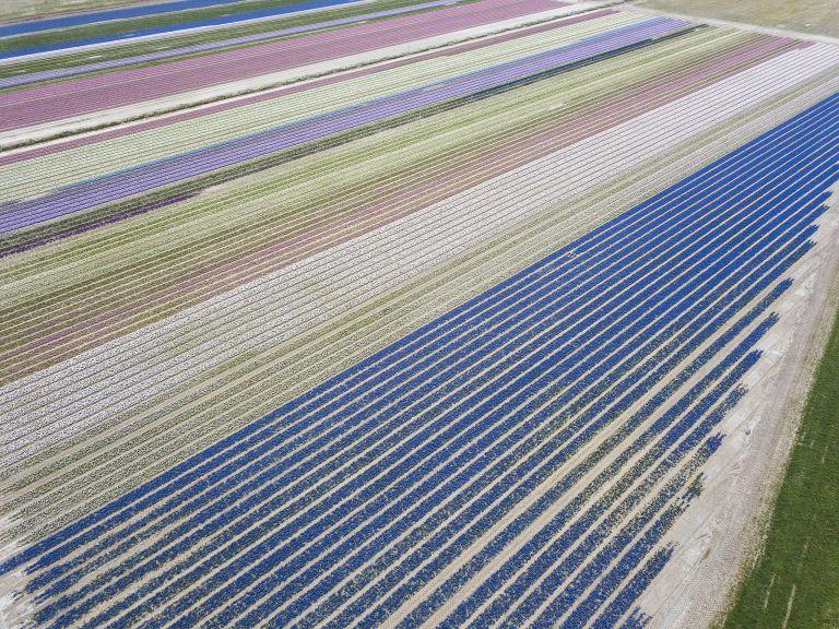Flower fields by drone