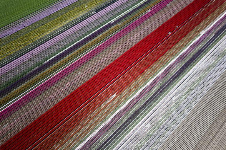 Tulip fields by drone near Almere