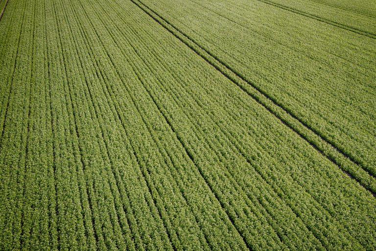 Potato field from my drone