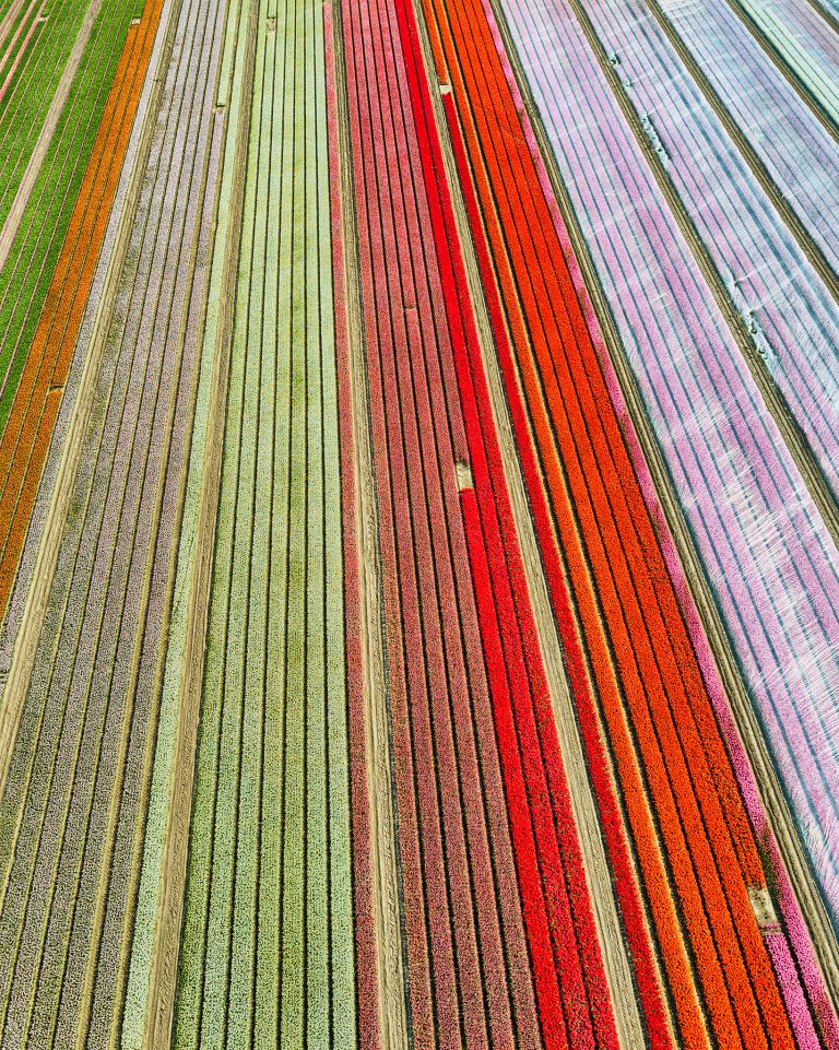 Coloured tulips start to appear