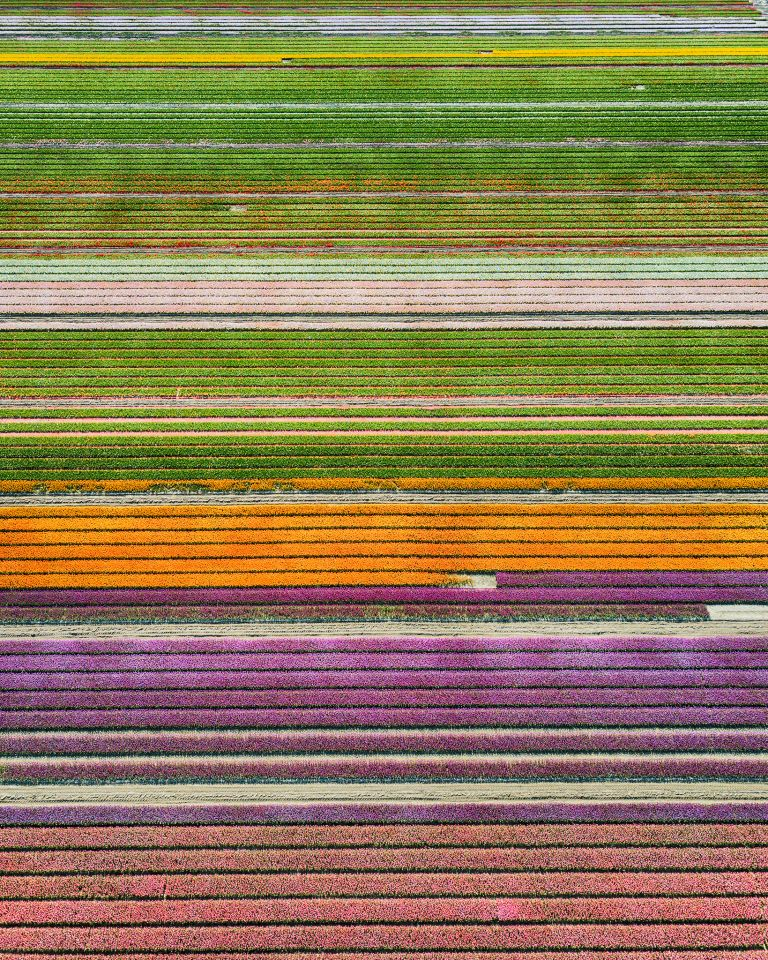 Different colours in the tulip field