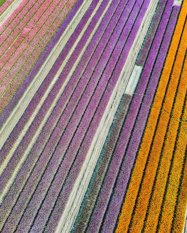 Tulip colours from above