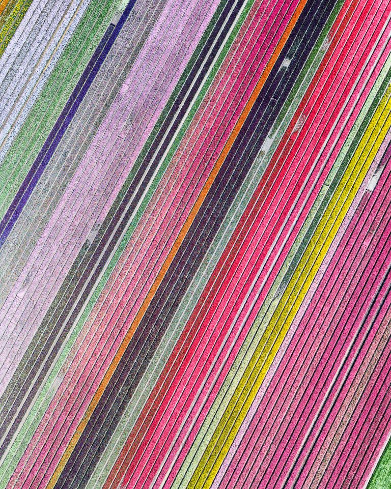 Colourful drone top-down of a tulip field