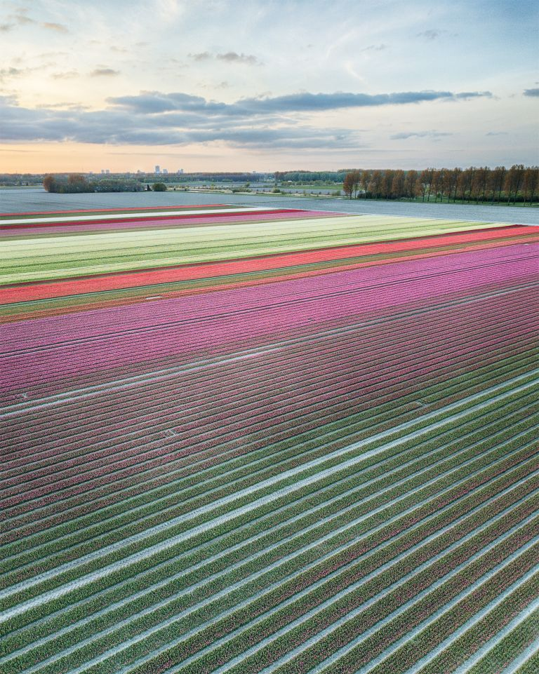 Drone tulips during sunset