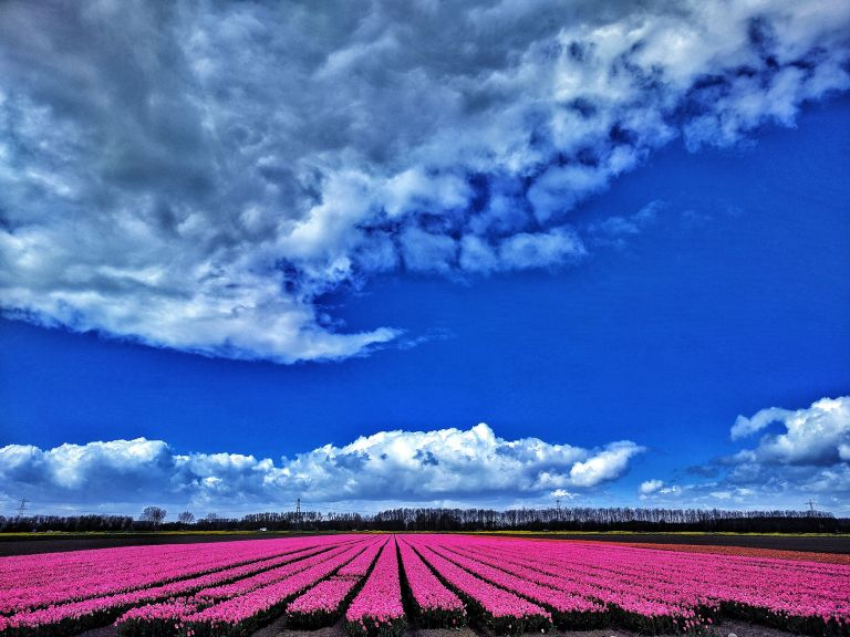 Tulip fields near Almere