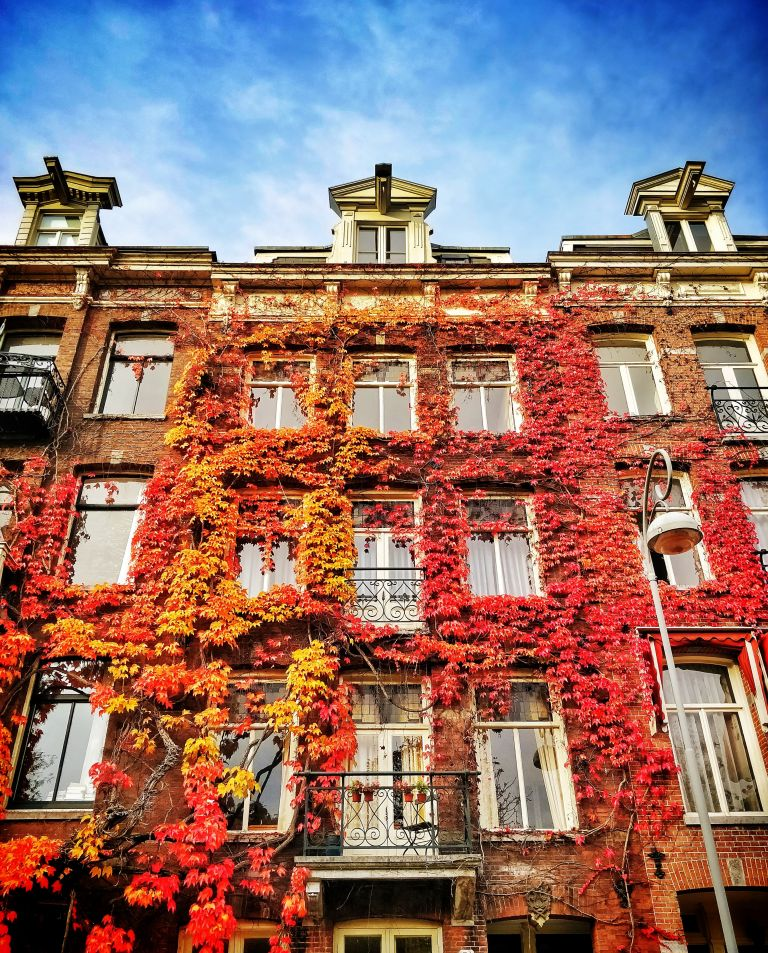 Colourful ivy in Amsterdam